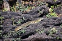 Waran - Chobe Nationalpark - Botswana