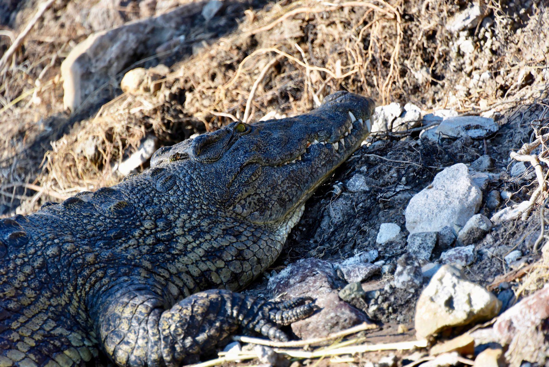 Krokodil - Chobe Nationalpark - Botswana