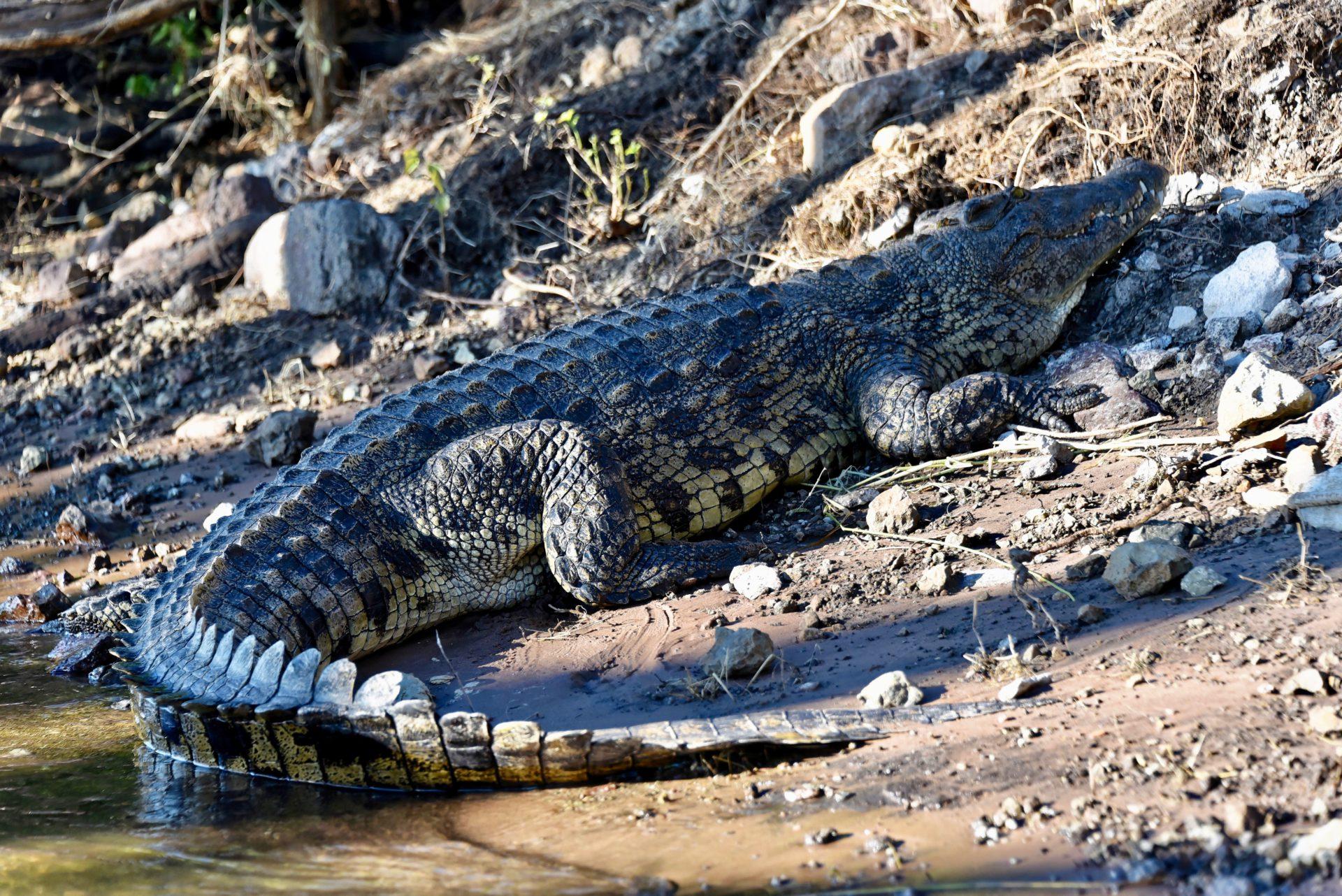 Krokodil im Chobe Nationalpark - Botswana