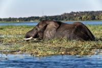 Elefant - Chobe Nationalpark - Botswana