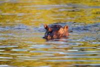 Flusspferde - Chobe Nationalpark - Botswana