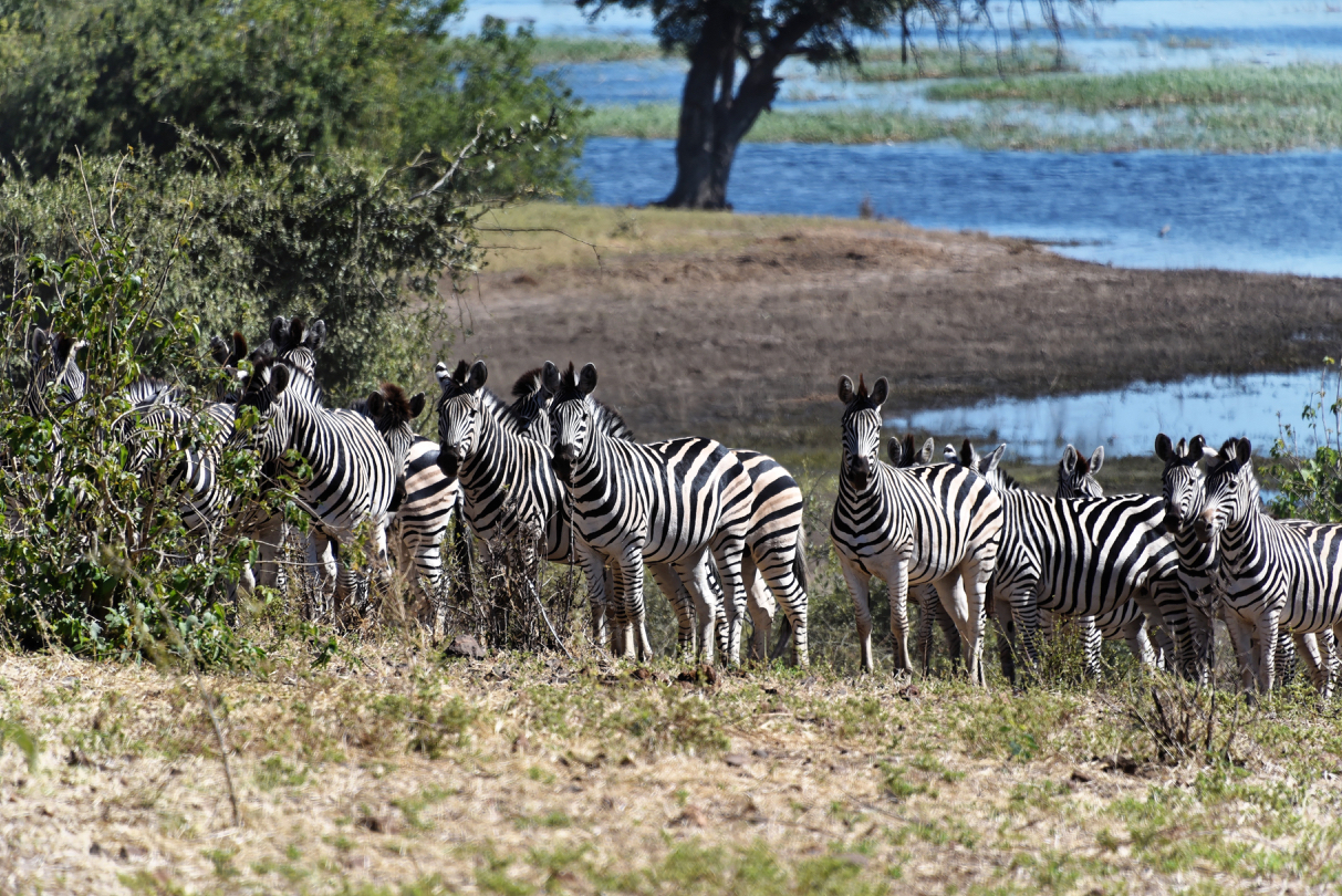 Zebras im Chobe Nationalpark