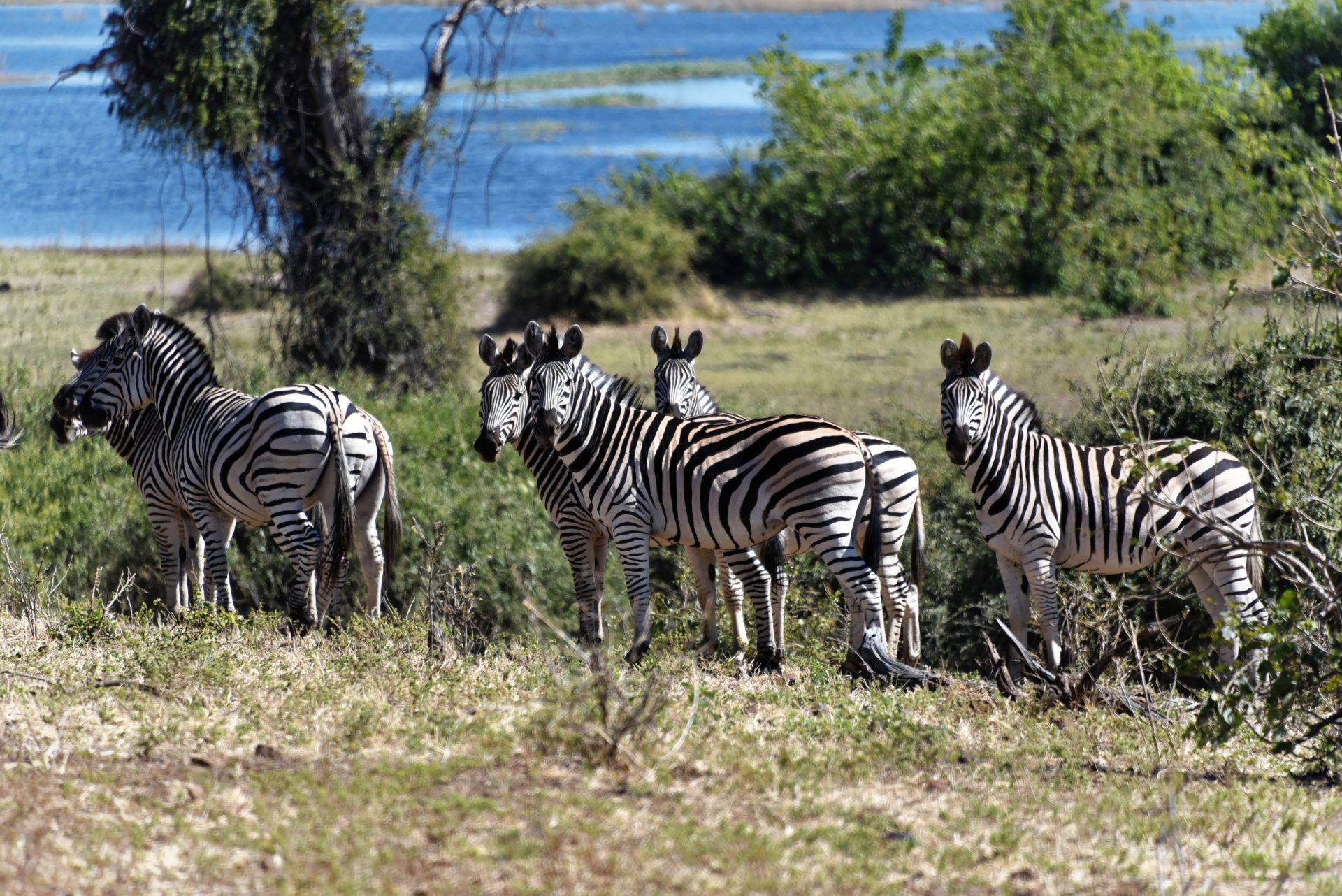 Zebras - Chobe Nationalpark - Botswana