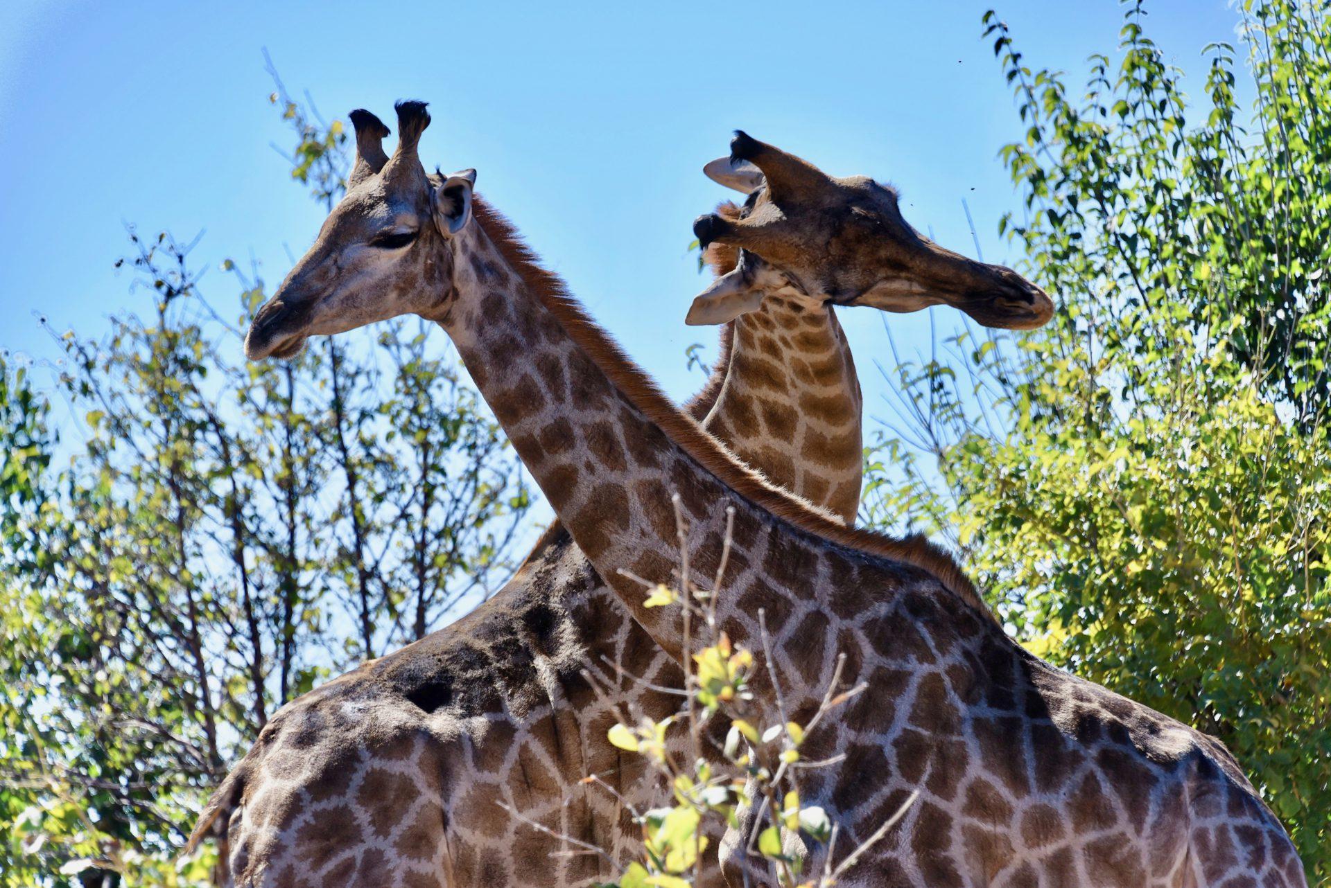 Giraffen - Chobe Nationalpark - Botswana