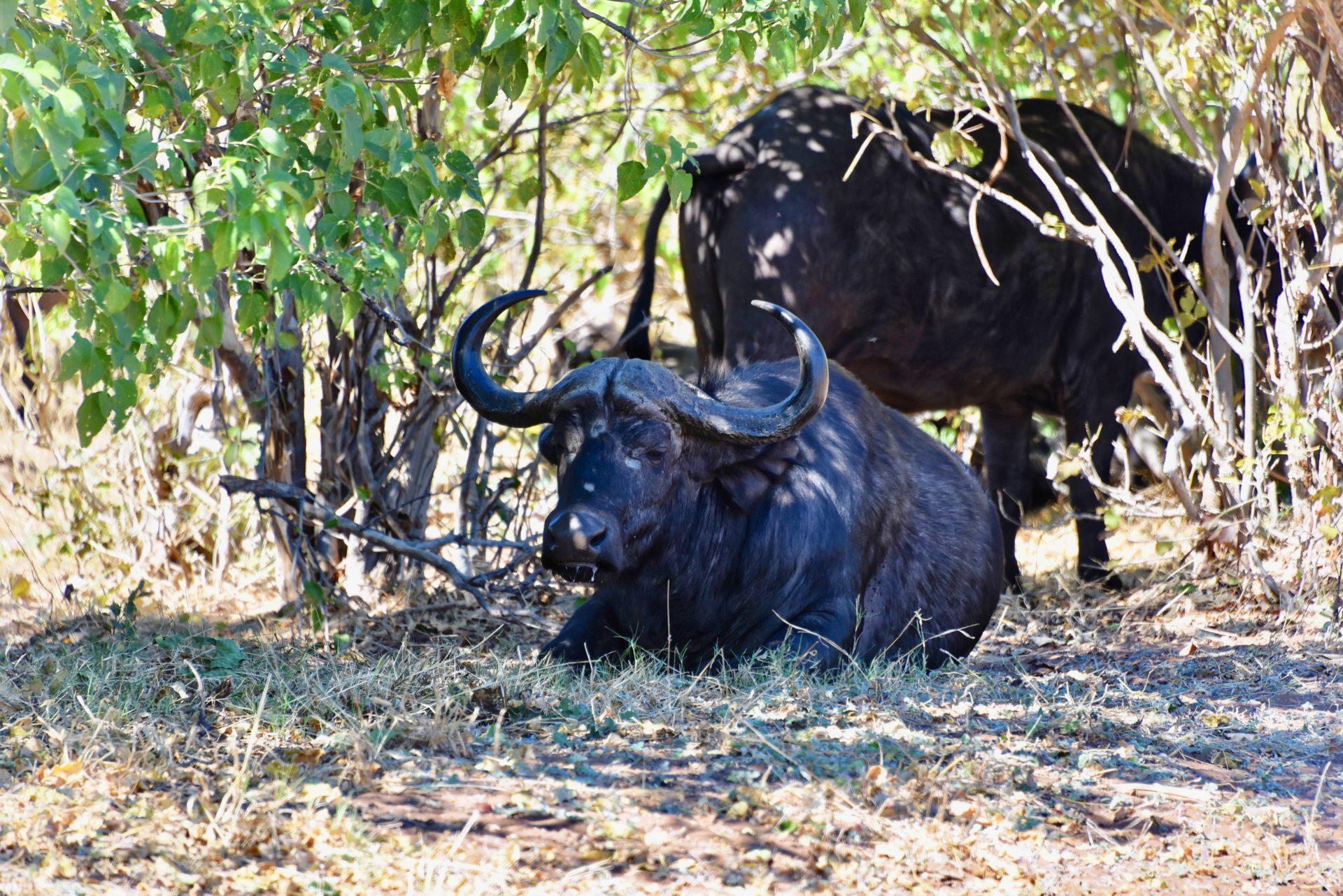 Büffel - Chobe Nationalpark - Botswana