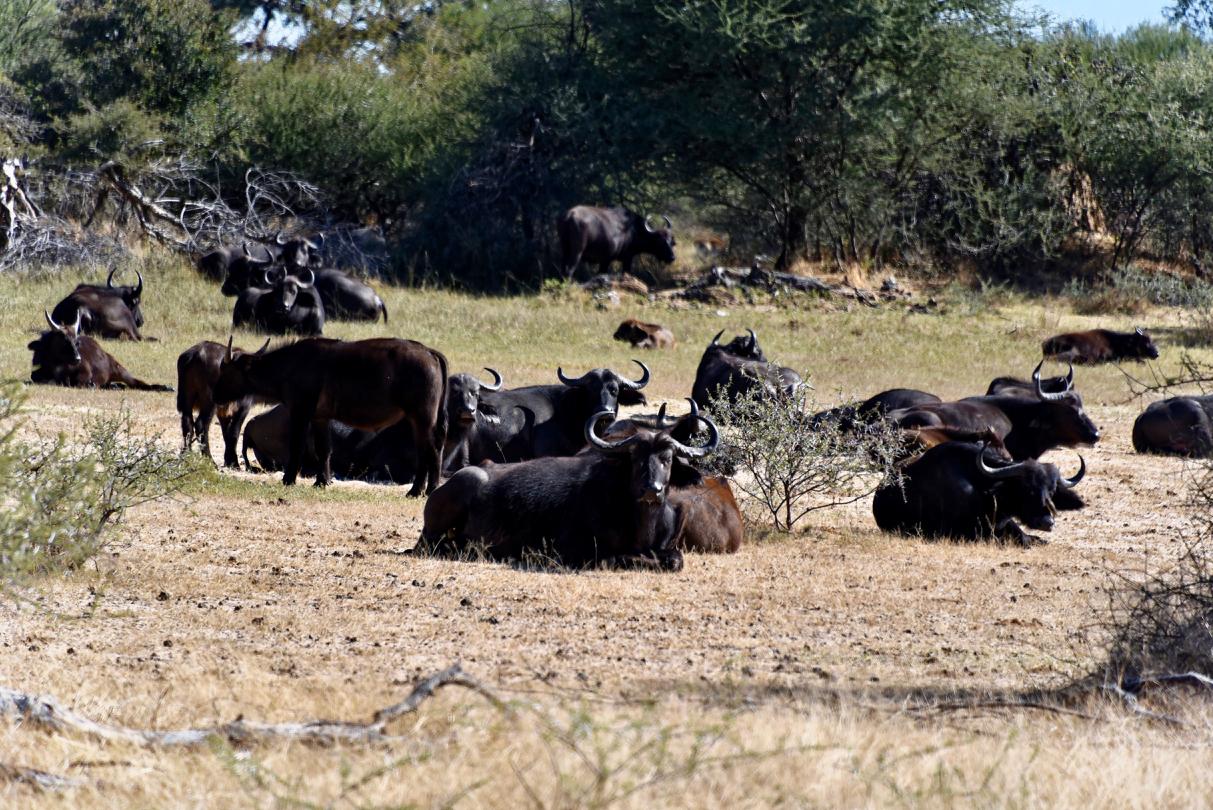 Büffel im Mahango Gamepark - Namibia