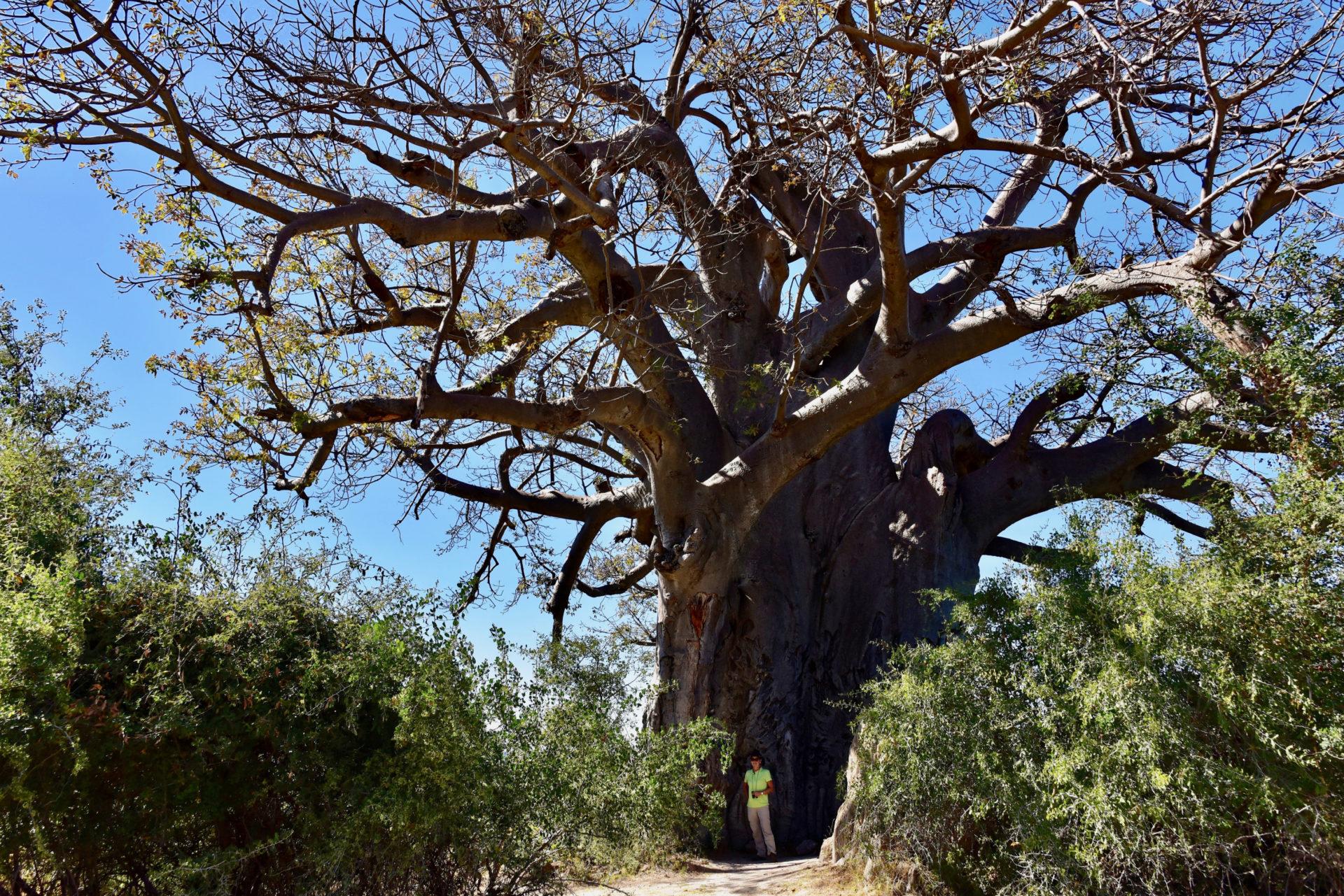 Baobab Baum - Mahango Gamepark - Namibia