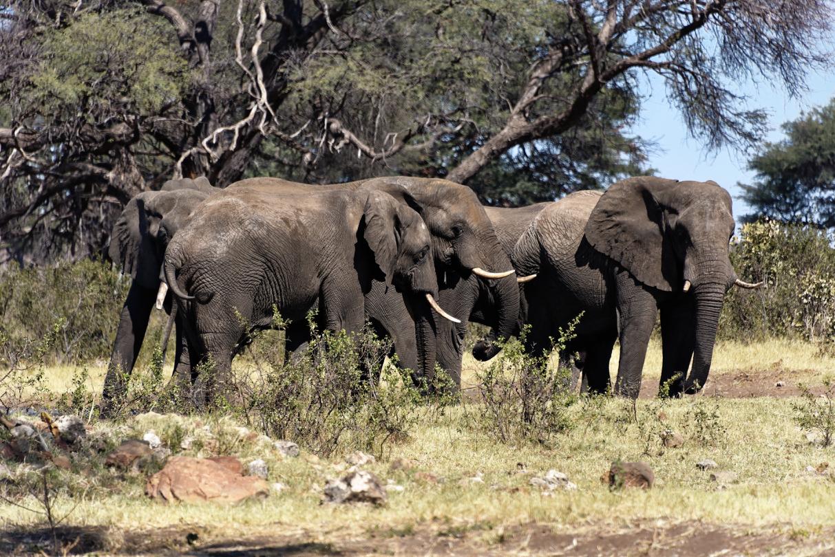 Elefanten im Mahango Gamepark