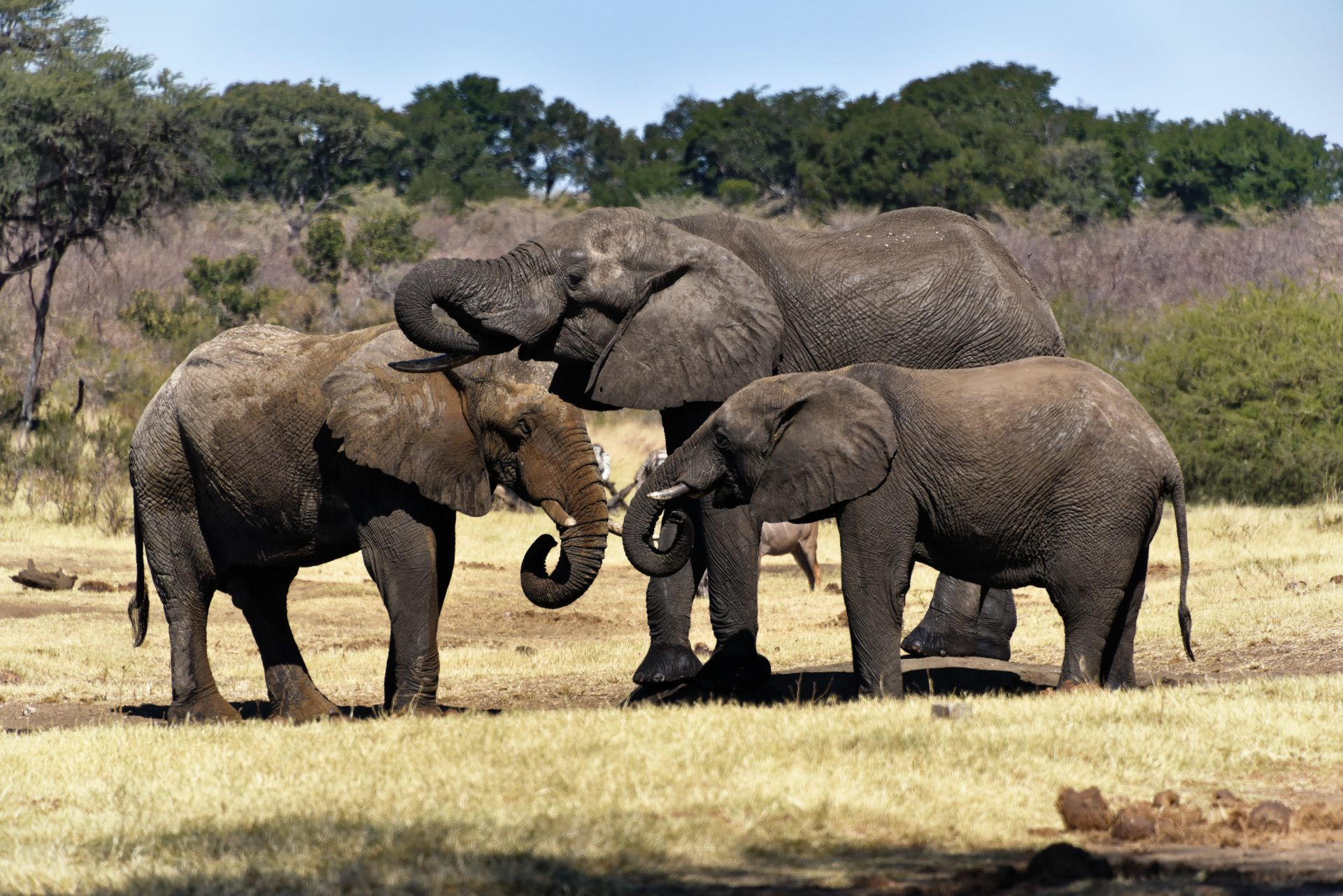 Elefanten - Mahango Gamepark - Namibia