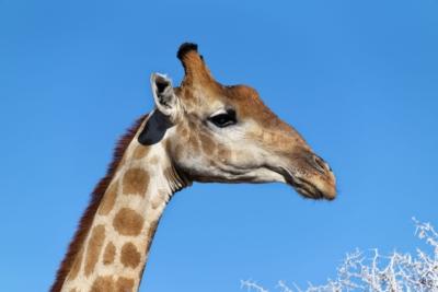 Giraffe im Etosha National Park