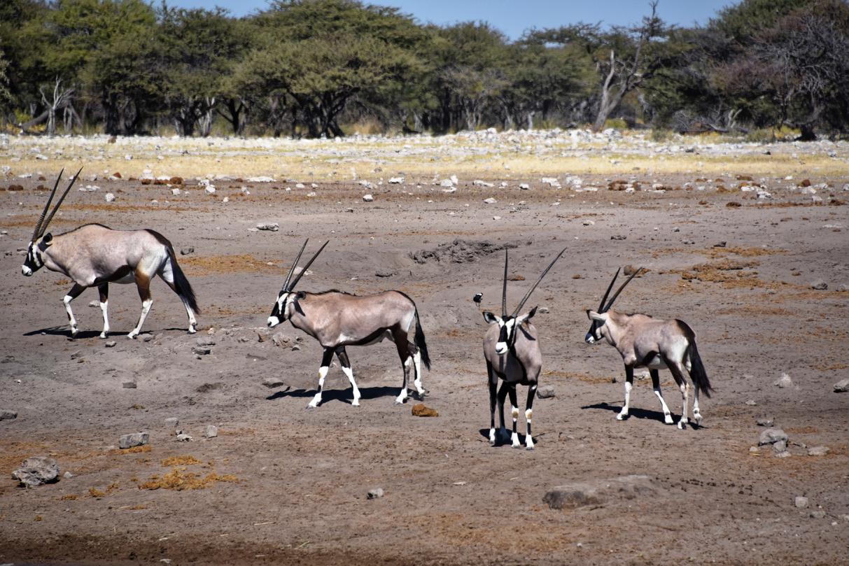 Oryx im Etosha National Park