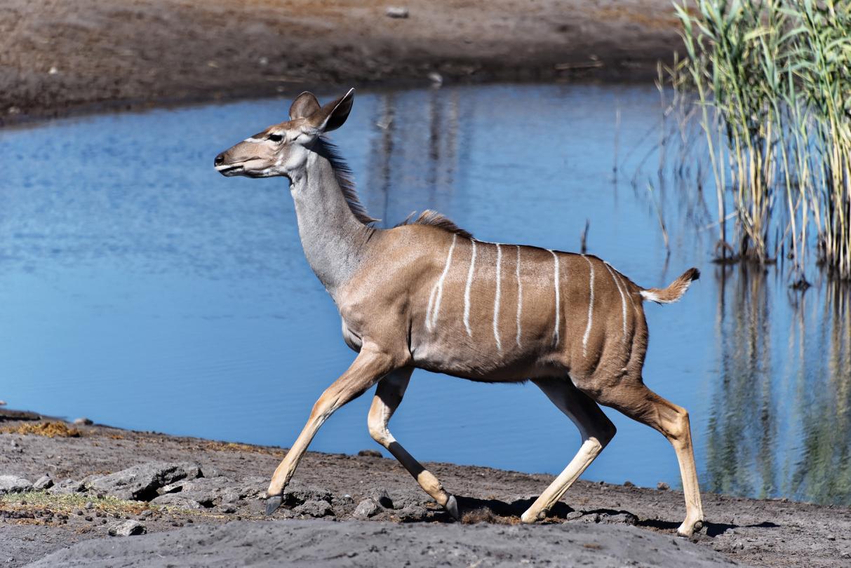 Kudu im Etosha National Park