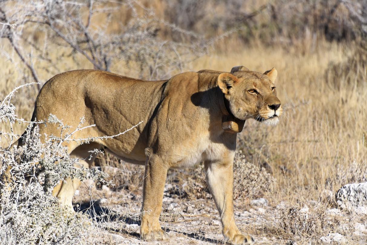 Löwin im Etosha National Park