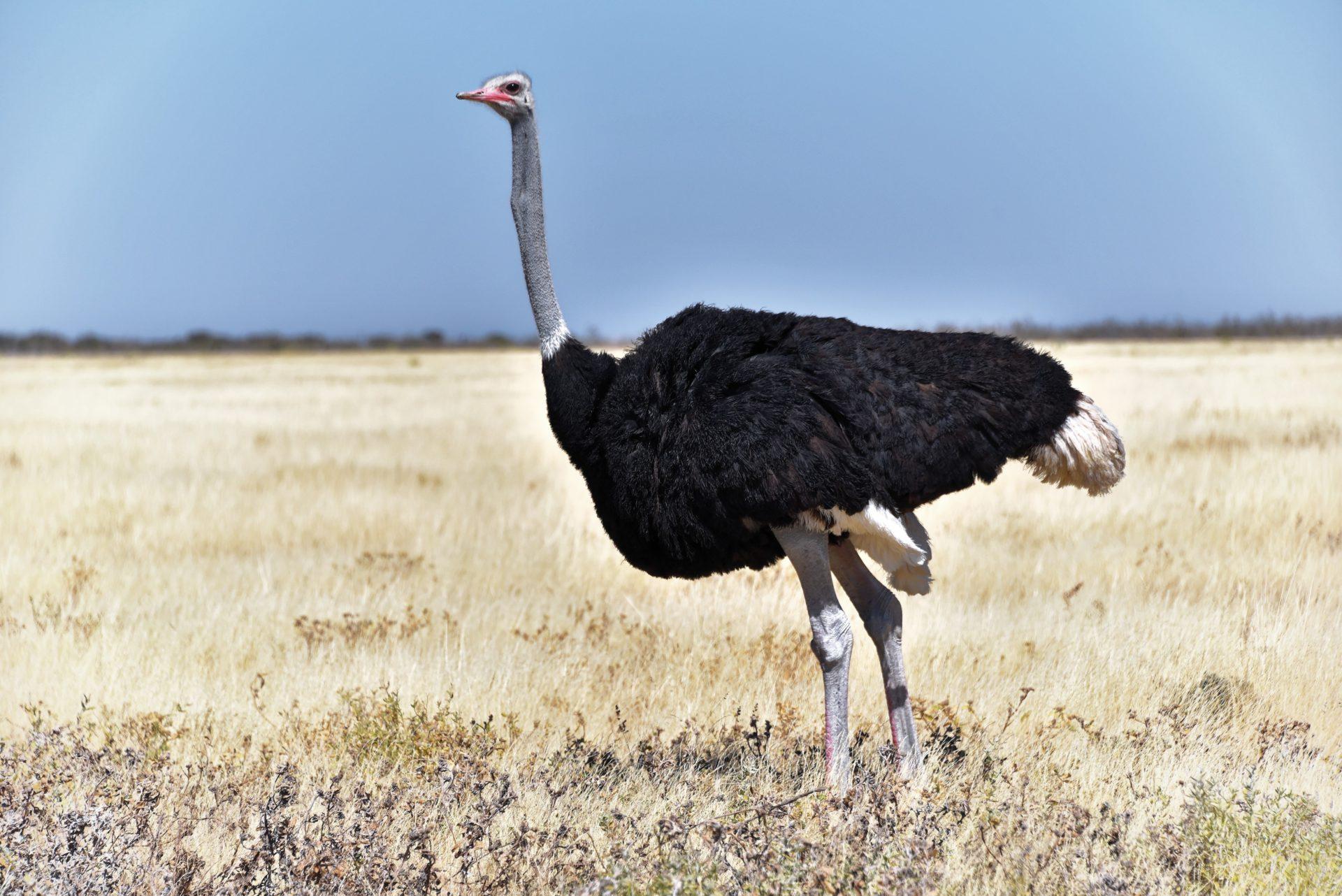Strauß - Etosha National Park - Namibia