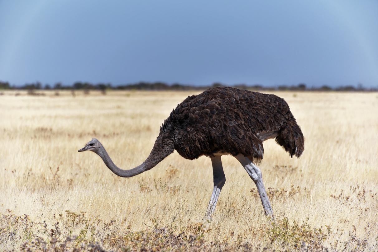 Strauss im Etosha National Park