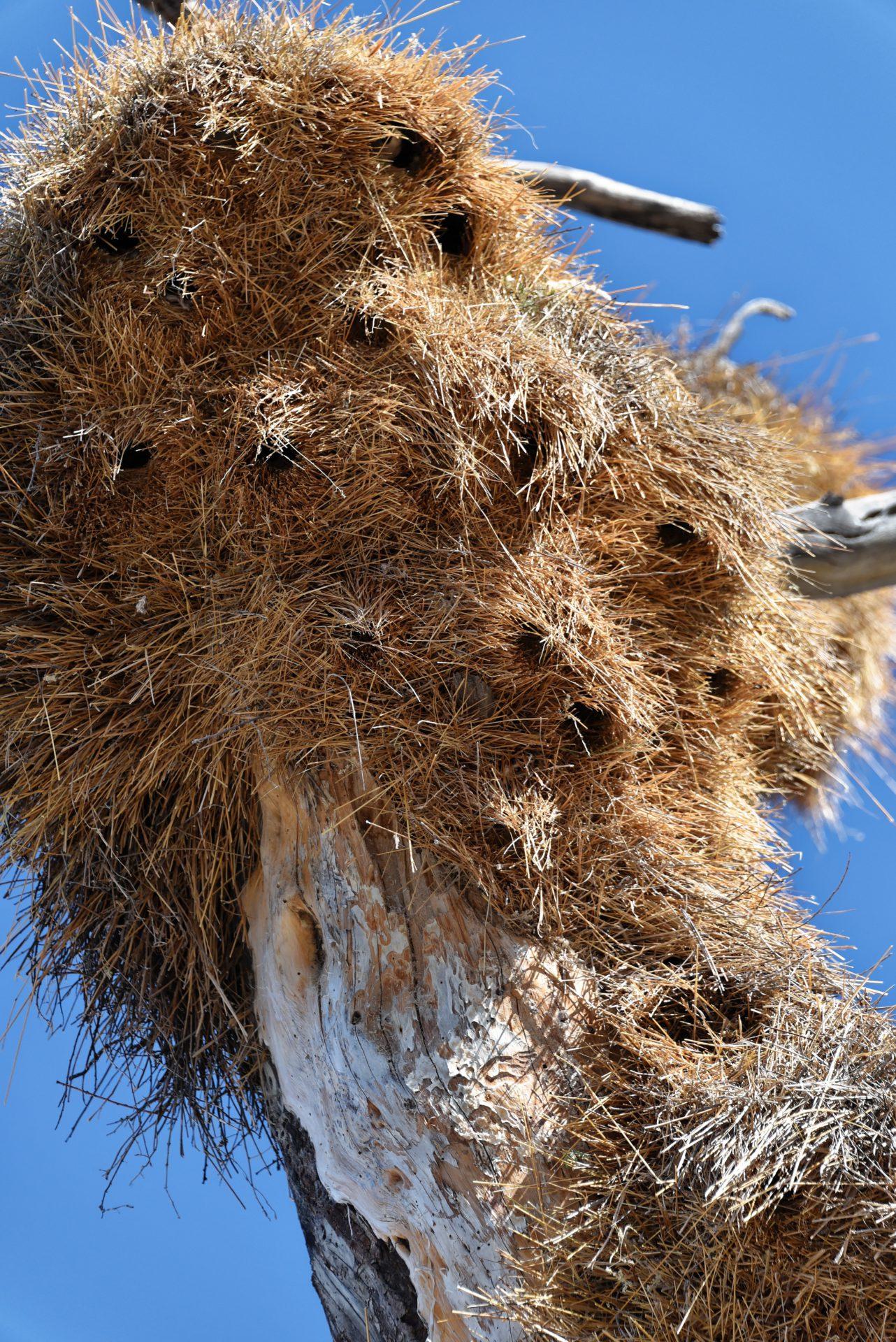 Webervögel - Etosha National Park - Namibia