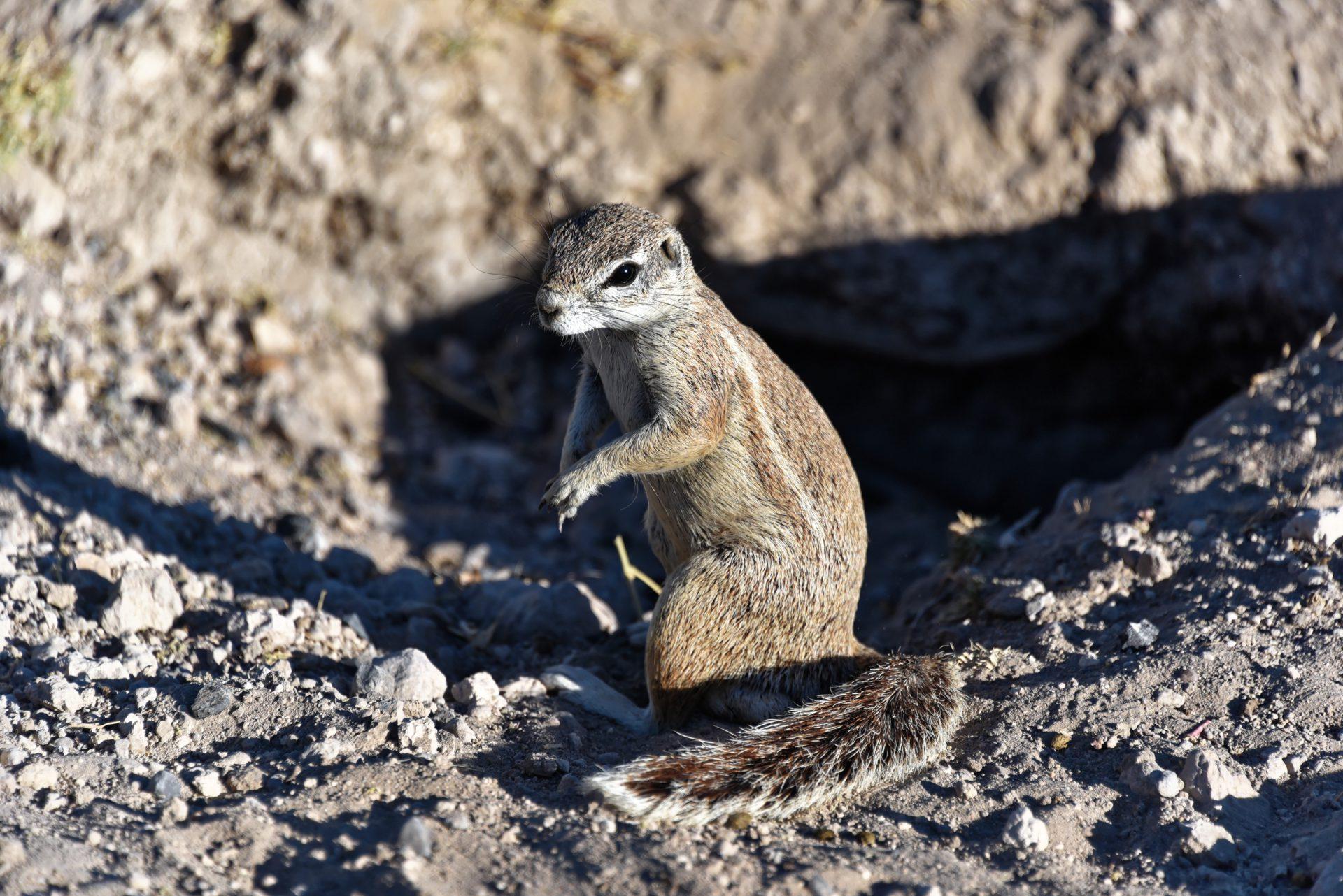 Kap-Borstenhörnchen - Etosha National Park - Namibia