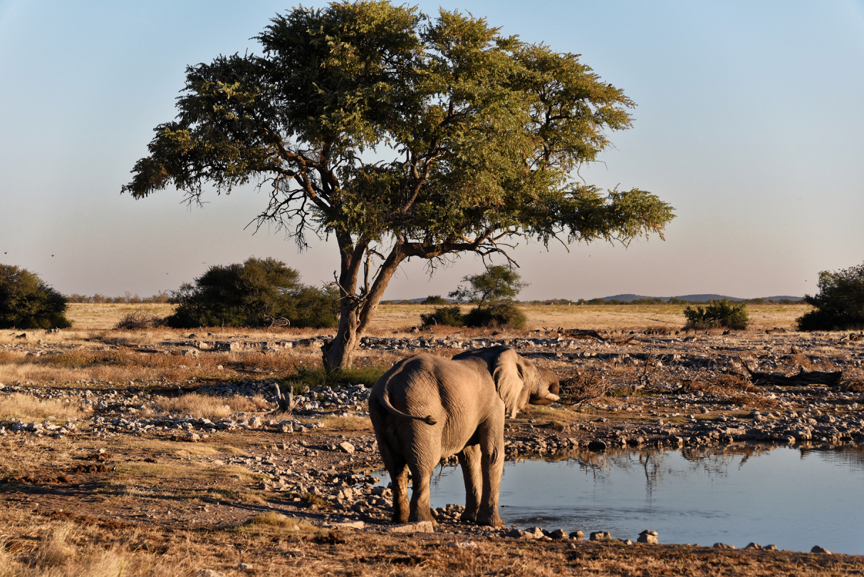 Elefant - Okaukuejo