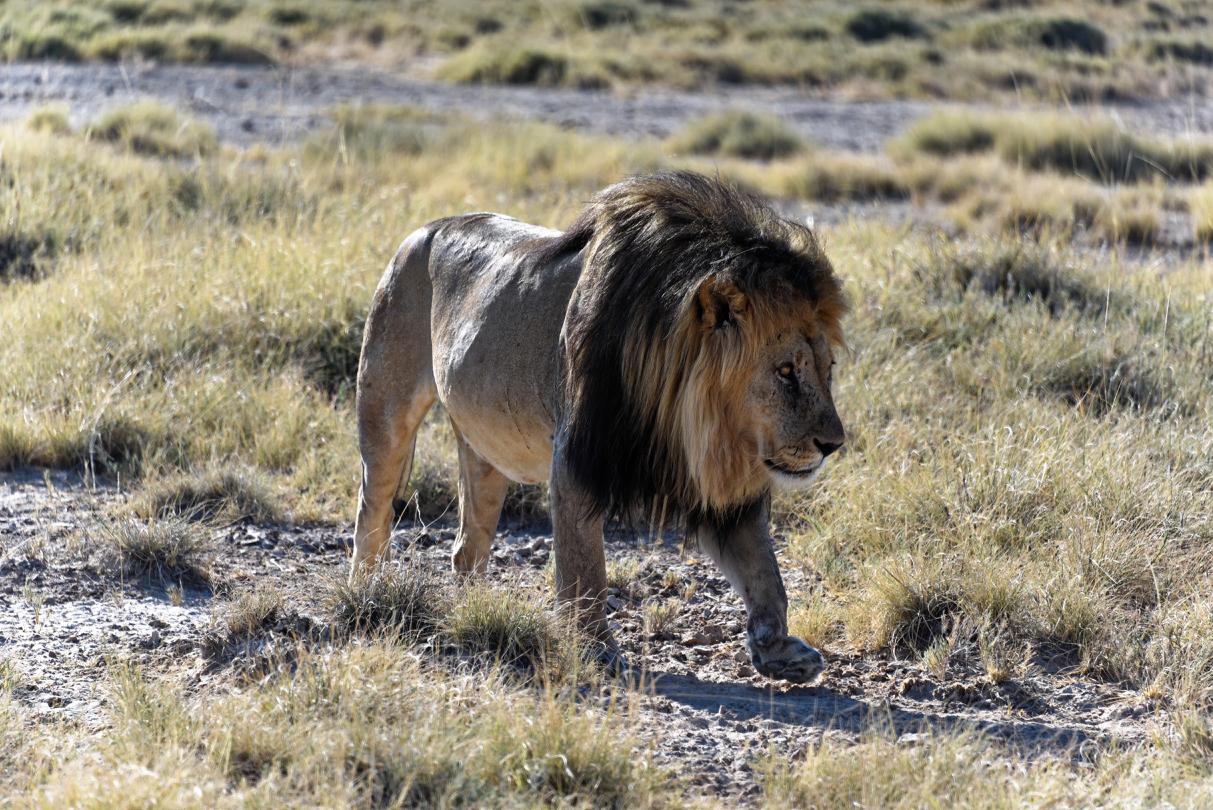 Löwe - Etosha National Park