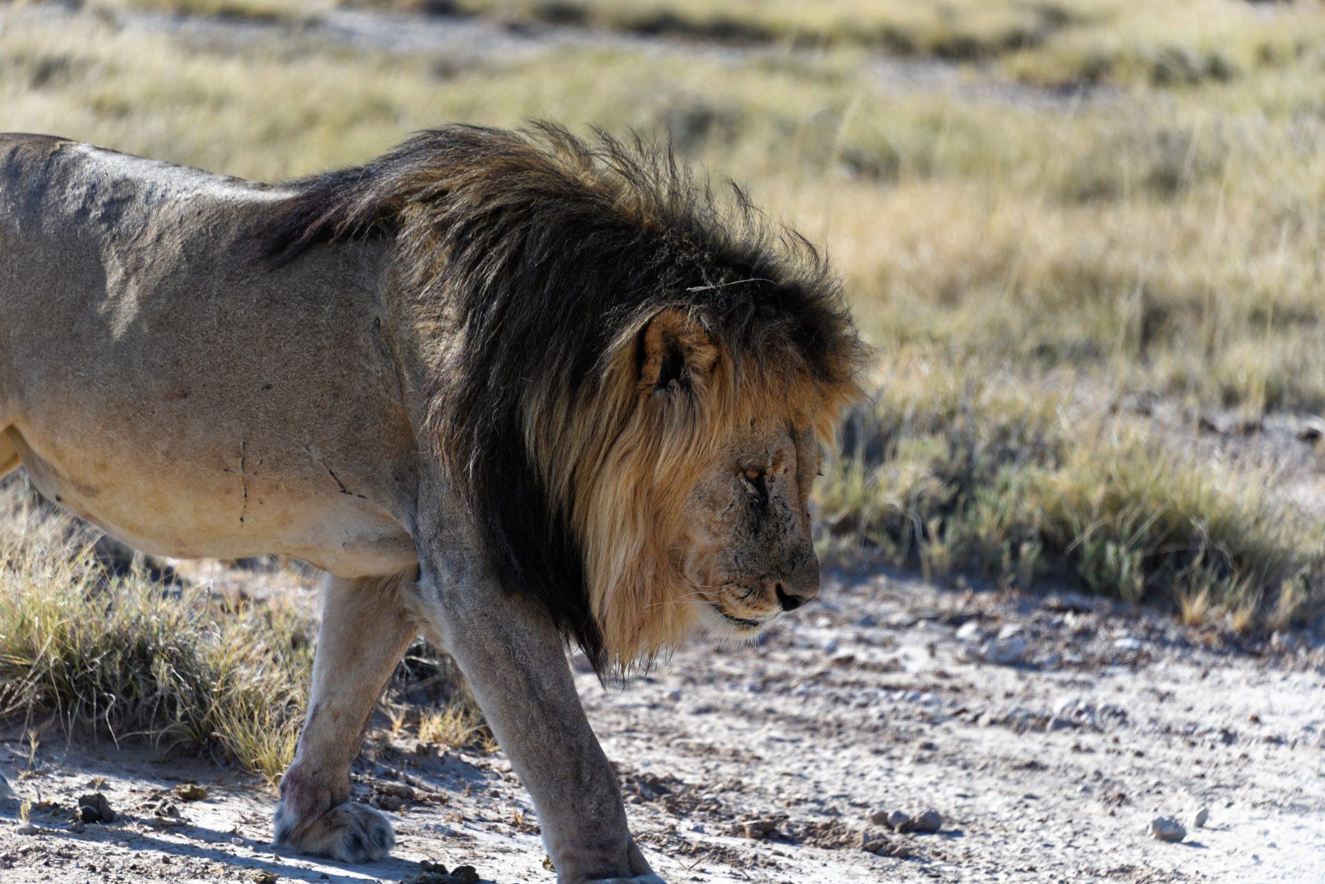 Löwe - Etosha National Park - Namibia