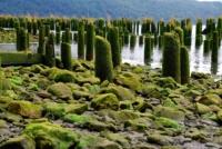 Pfähle im Wasser - Highway 101 - Oregon