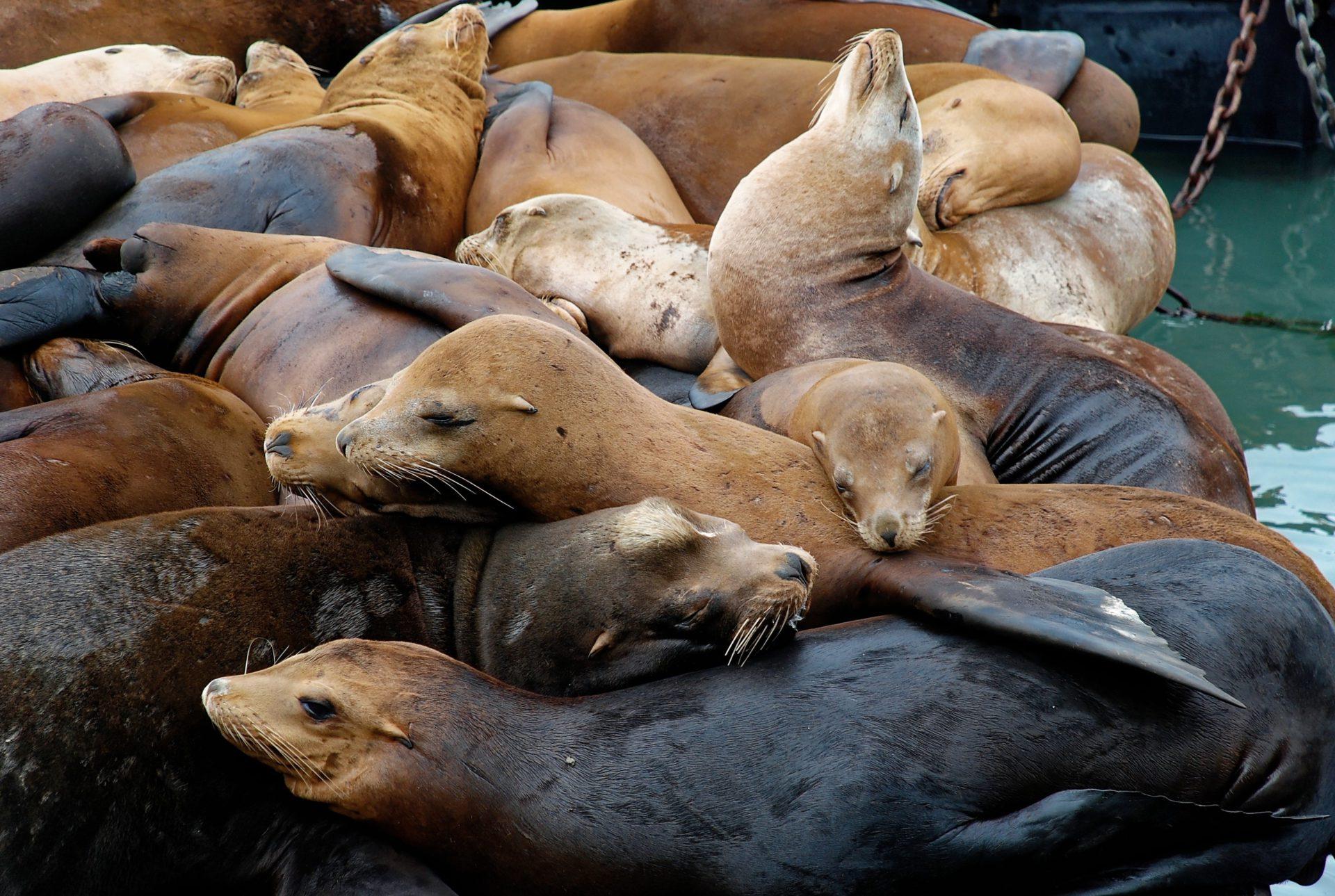 Seelöwen am Pier 39 - San Francisco - Kalifornien