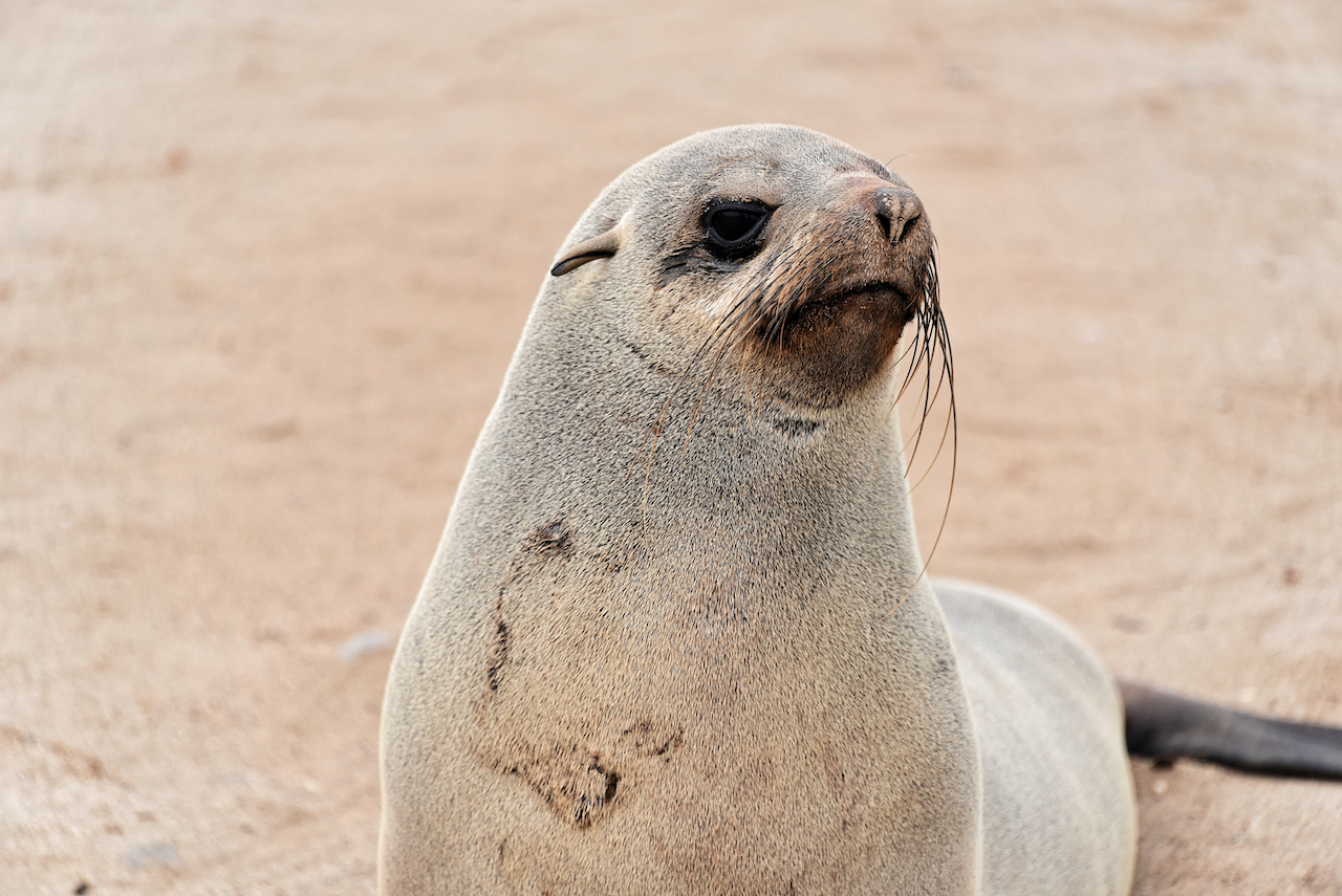 Pelzrobbe - Cape Cross Seal Reserve