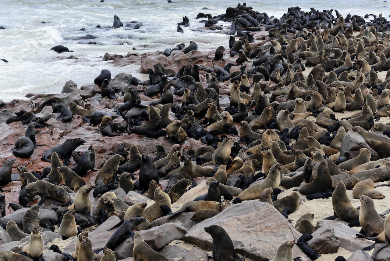 Pelzrobben - Cape Cross Seal Reserve