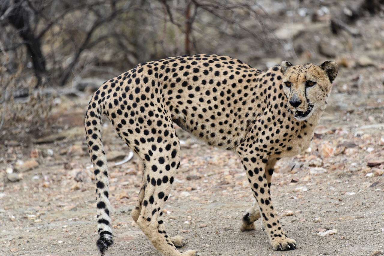 Gepard - Düsternbrook Guestfarm